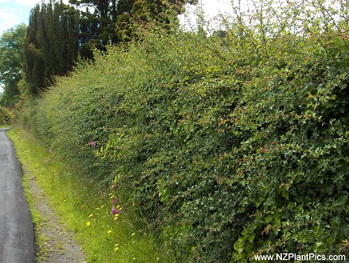 Nz Hedges Photos And Info Planting Hedging And Good
