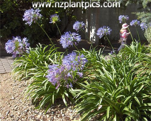 This striking agapanthus with