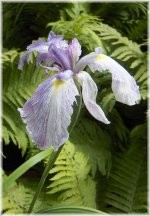 Iris 'The Geisha'