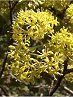 Lemonwood tree flowers